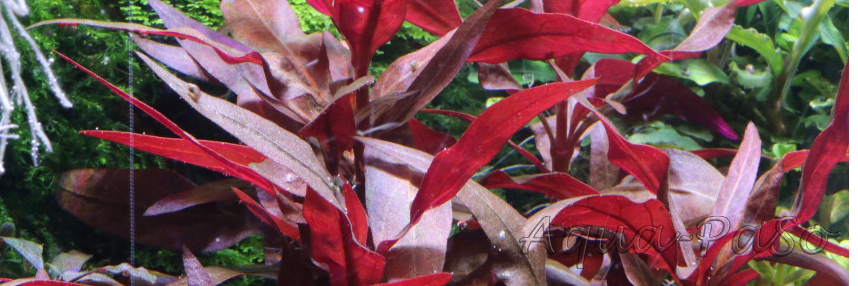 Alternanthera reineckii mini, Mini-Papageienblatt, ''rosaefolia minor''