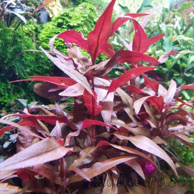 Alternanthera reineckii mini, Mini-Papageienblatt ,''rosaefolia minor''