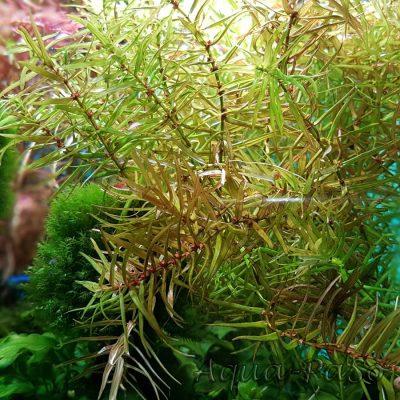 Didiplis diandra, Amerikanische Wasserhecke, Amerikanische Bachburgel