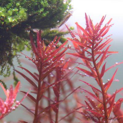 Rotala sp. Colorata, Rotala rotundifolia Colorata