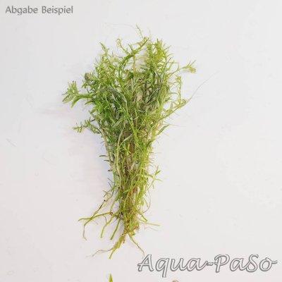 Rotala green, grüne Rotala, Rotala sp. Green, Rotala rotundifolia green
