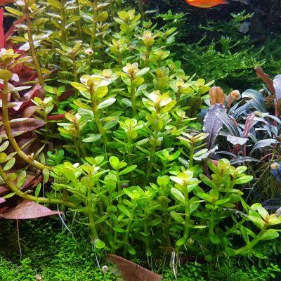 Rotala indica Bonsai, Indische Rotala, Bonsai-Ammannia, Bonsai-Cognacpflanze