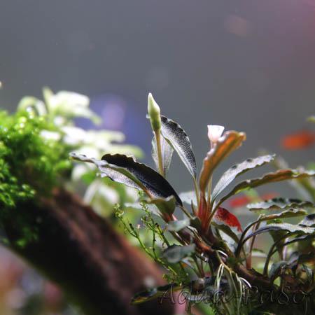 Bucephalandra Übersicht