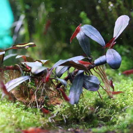 Bucephalandra Copi Susu