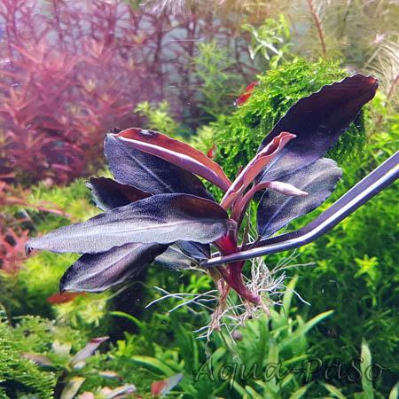Bucephalandra Dark Blue