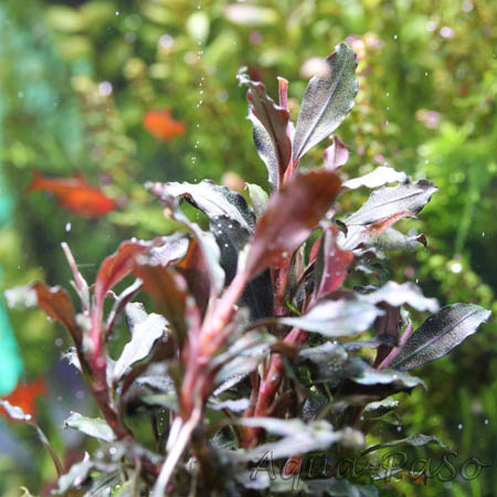 Bucephalandra Brownie Ghost red
