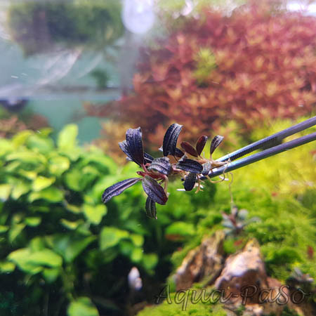 Bucephalandra Brownie Phantom Mini