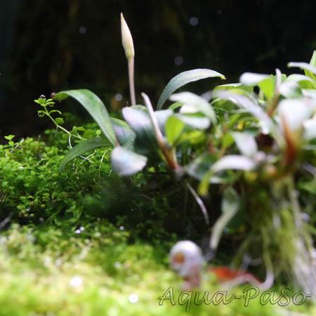 Bucephalandra Pygmaeus