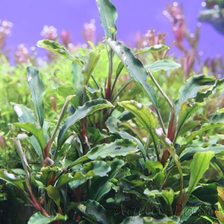 "Bucephalandra sp. ""Melawi"""
