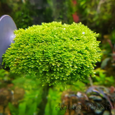 Bucephalandra Moos