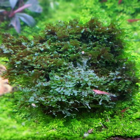 Wave Moss